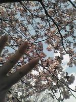 Sakuranoyubi_1